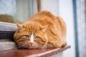 le surpoids touche même les chats