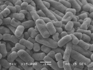 lactobacillus-b290-15